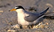 image of an interior least tern bird