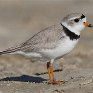 Image of a piping plover bird